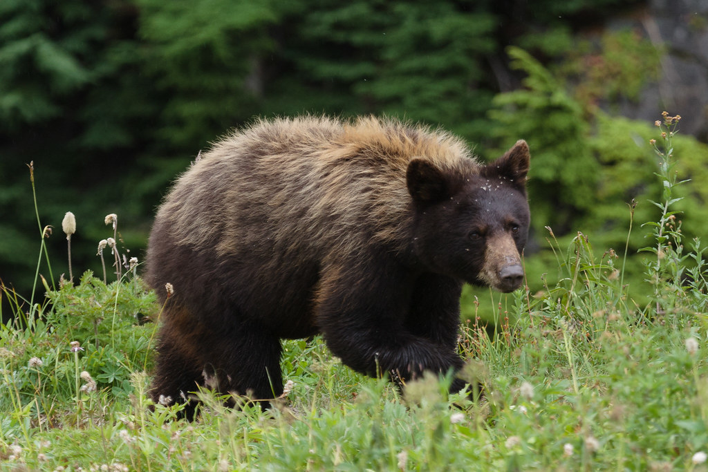 A black bear with brown fur near the Skyline Trail in the Paradise area of Mount Rainier National Park