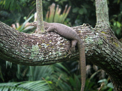 A Monitor lizard tree in a tree at Khao Yai Park in Thailand