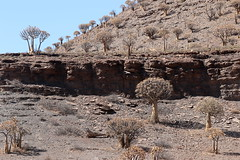 The Quiver Tree (Aloe dichotoma) forest