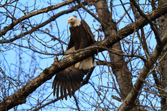 Bald Eagles-0110