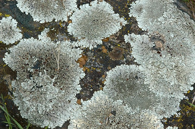 Parmelia sp. (Shield Lichen)