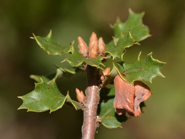 Gall of the Spined Turban Gall Wasp on native Scrub Oak