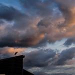 4. Oktoober 2017 - 17:41 - 日が暮れても廃屋の屋根に佇んでいたアオサギです。