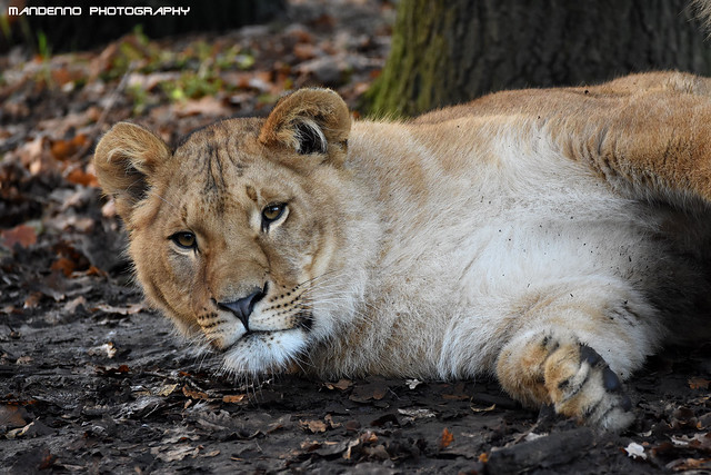African lioness - Olmense Zoo