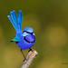 Our Splendid Fairy-wren by shelley90