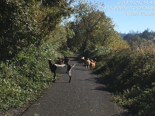 Goats on the Banks Vernonia Trail.  Again :-)