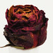 Dried rose from the summer by Niels J. Buus Madsen