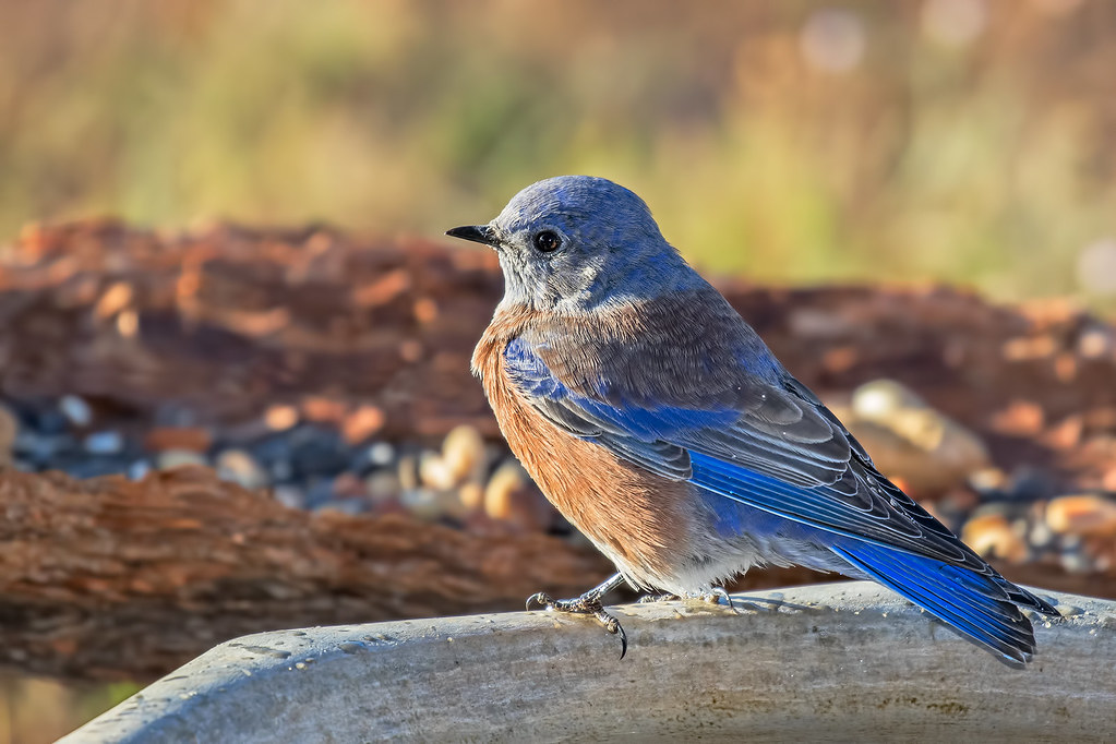 Western-Bluebird-16-7D2-091417