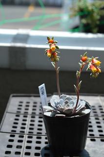 DSC_6108  Echeveria secunda 'Pinwheel' sp. 3/07 tuxpanensis