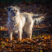 Scruffy Autumn Border Terrier