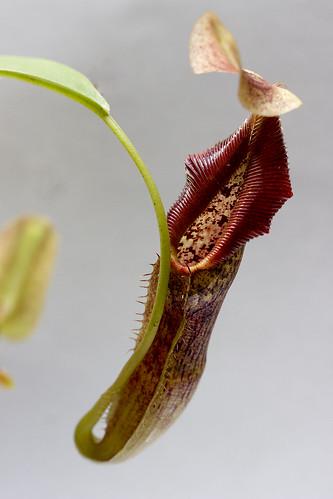 Nepenthes singalana Belirang #2