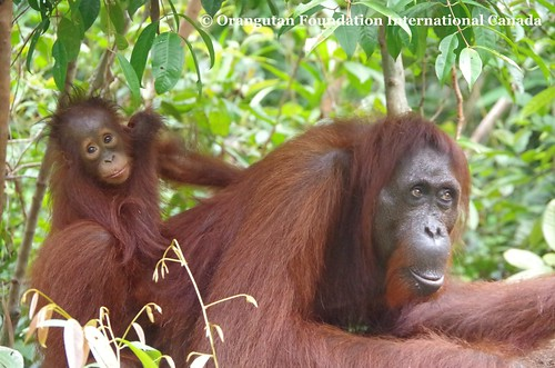 Mother Orangutan Yuni and infant Yoyo at Camp Leakey 2016