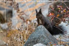 Red or Common Eurasian squirrel Sciurus vulgaris