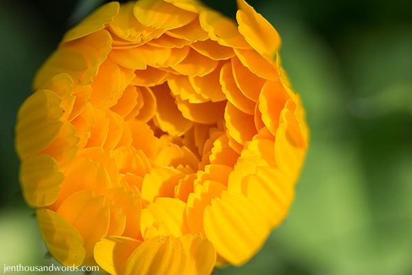 Ranunculus 07
