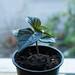 Small photo of Aji Cito Pepper Plant