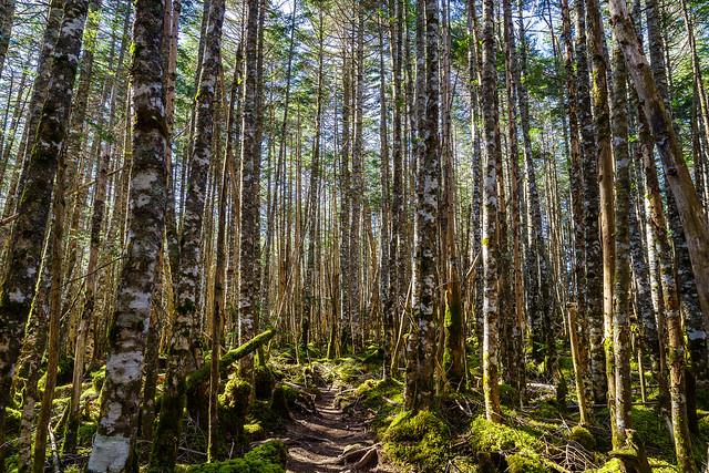 美しいシラビソ樹林