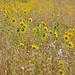 Fields of Sunflowers..