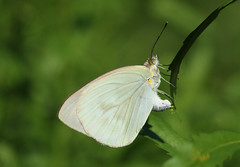 Great Southern White laying eggs