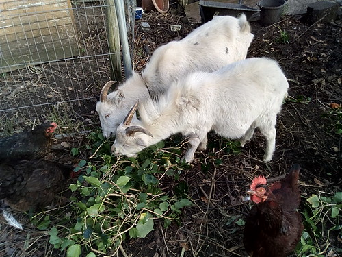 goats eating ivy Nov 17 3