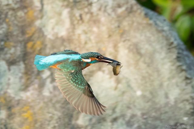 20171113-kingfisher-DSC_7589