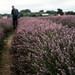 At the lavender field - 2