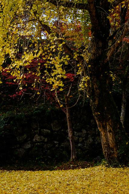Gingko's Fall