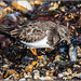 Turnstone (Arenaria interpres) with lunch