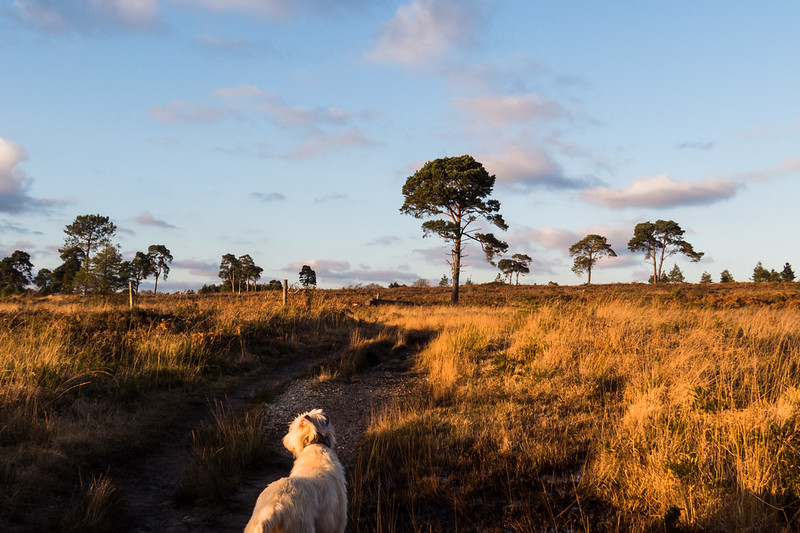 Teddy walks across a sunlit heath