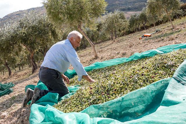 Gathered olives.
