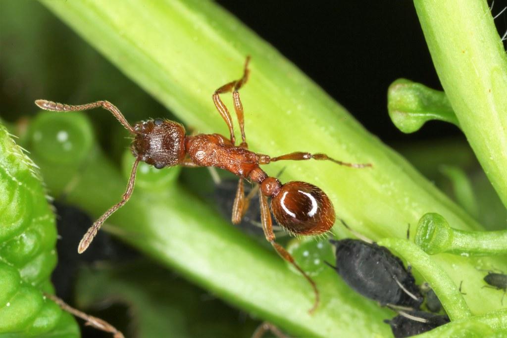 Myrmica rubra, la fourmi rouge, the red ant.