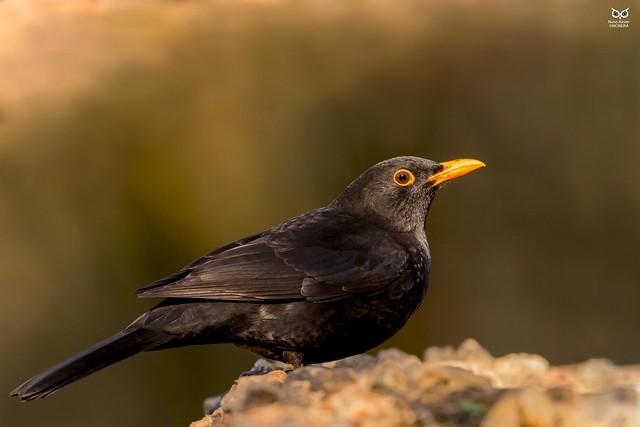 Melro-preto, Common blackbird (Turdus merula)