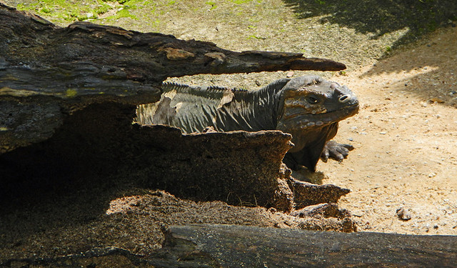 A Komodo Dragon giving me the evil eye at the Singapore Zoo