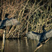 Cormorants in the winter sun.