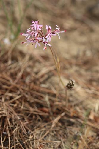 Pelargonium triphyllum