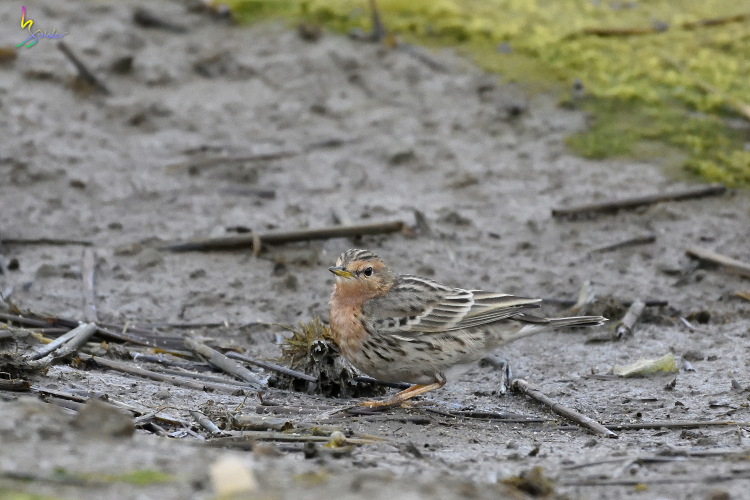 Red-throated_Pipit_6615