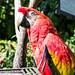 Scarlet macaw face