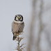 Northern Hawk Owl-45619.jpg