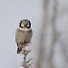 Northern Hawk Owl-45619.jpg