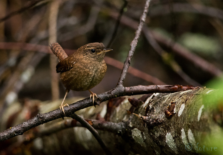 Käblik, Harilik, Troglodytes, Nannus, Northern, Wren, Winter, Common, Holarctic, Eurasian, Estonia, Kaido Rummel