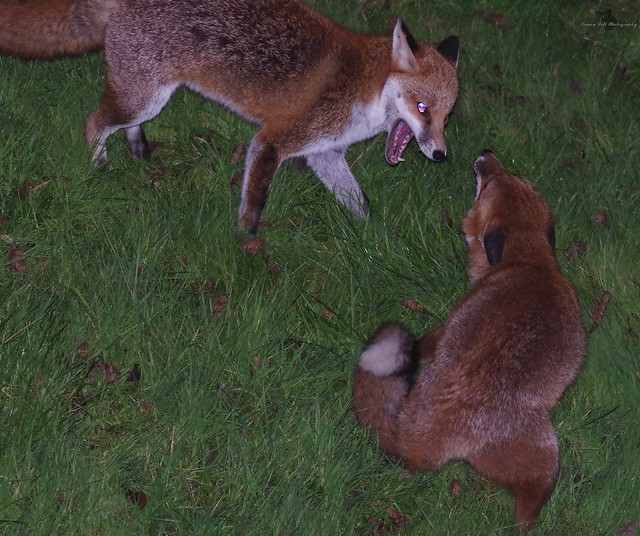 red fox fighting mating  (1)