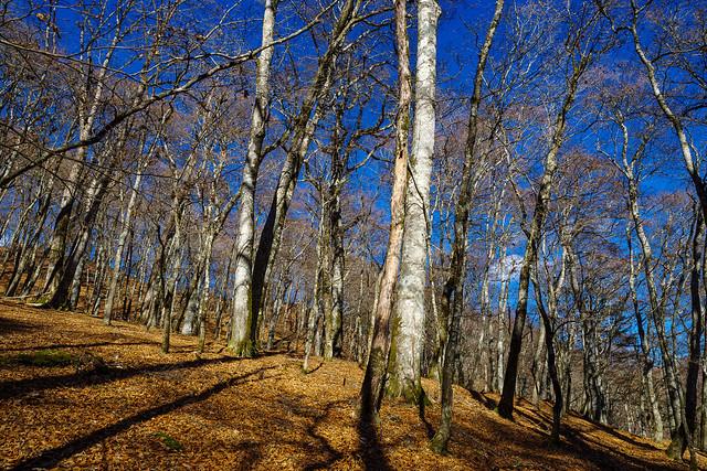 ブナの森が美しい