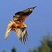Red Kite, Argaty, Stirlingshire, Scotland