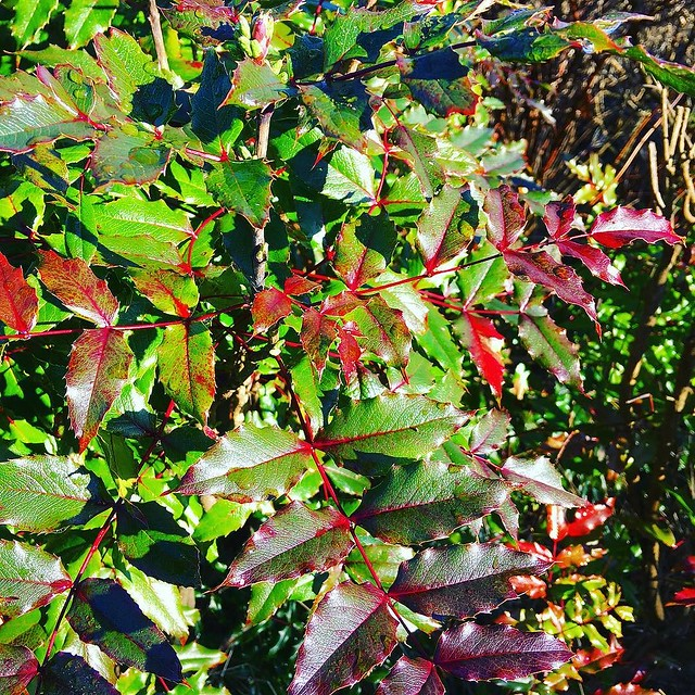 Holly in seasonal colors. ❤️💚❤️