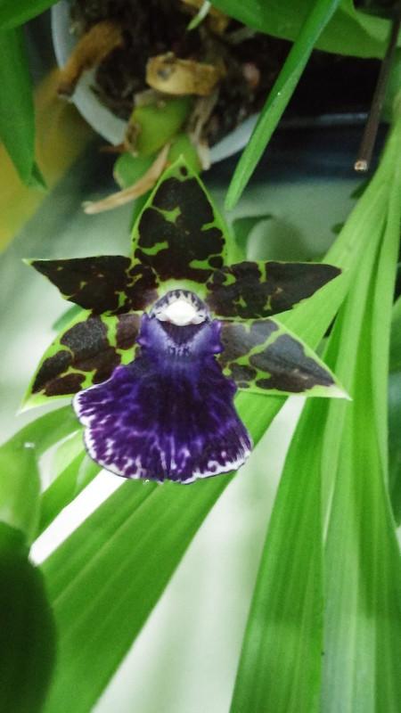 Les orchidées chez Sougriwa 37994947084_cb0065f6bc_c