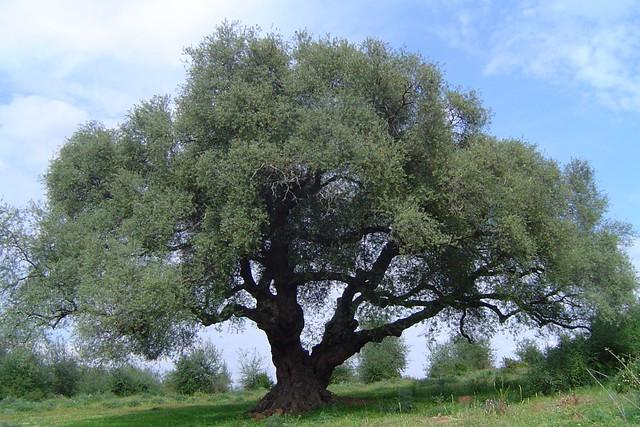 Constatan que el olivo, Sony DSC-P72