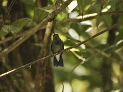 Purple-chested Hummingbird (Amazilia rosenbergi)