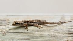 Cape Yellow-headed Gecko