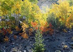 In the Spotlight, Fall along Bishop Creek, CA 10-17