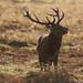 Red Deer Stag Cervus elaphus 12 Pointer 031-1