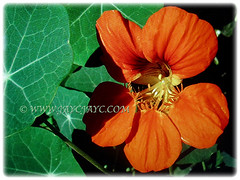 Beautiful orange flower and green foliage of Tropaeolum majus (Nasturtium, Garden Nasturtium, Indian Cress, Monks Cress), 23 Nov 2017